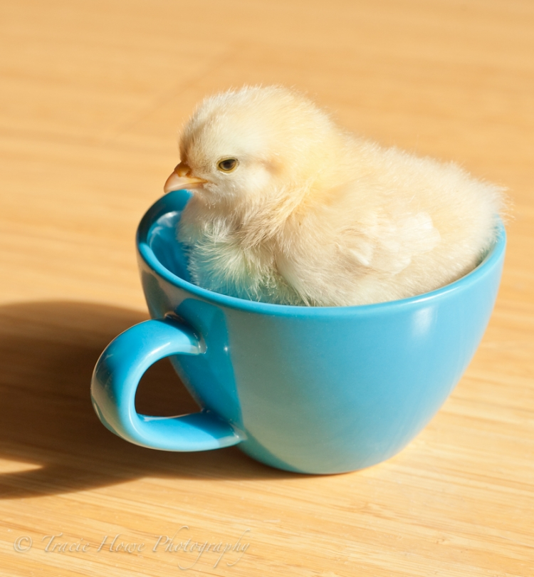 photo of cute baby chick in a mug