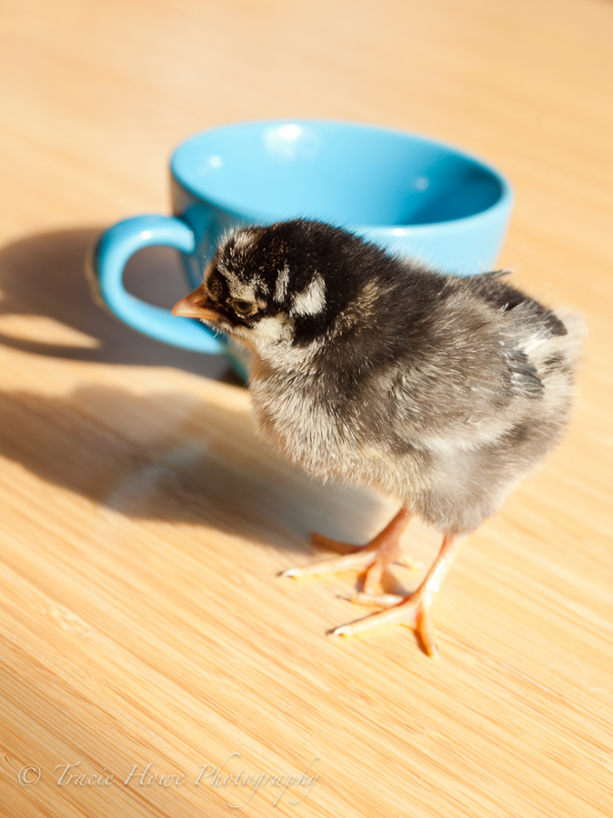 photo of cute baby chick next to a mug