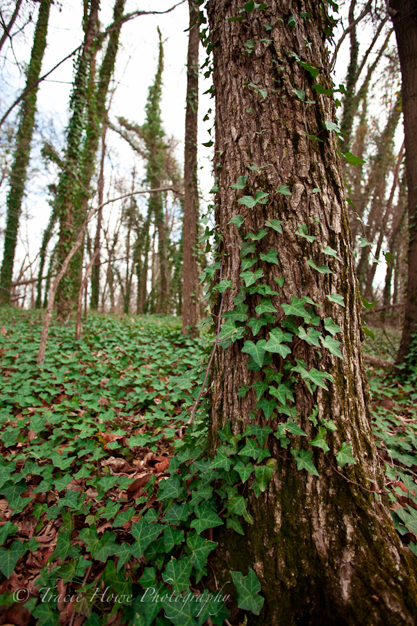 photograph of an ivy covered tree
