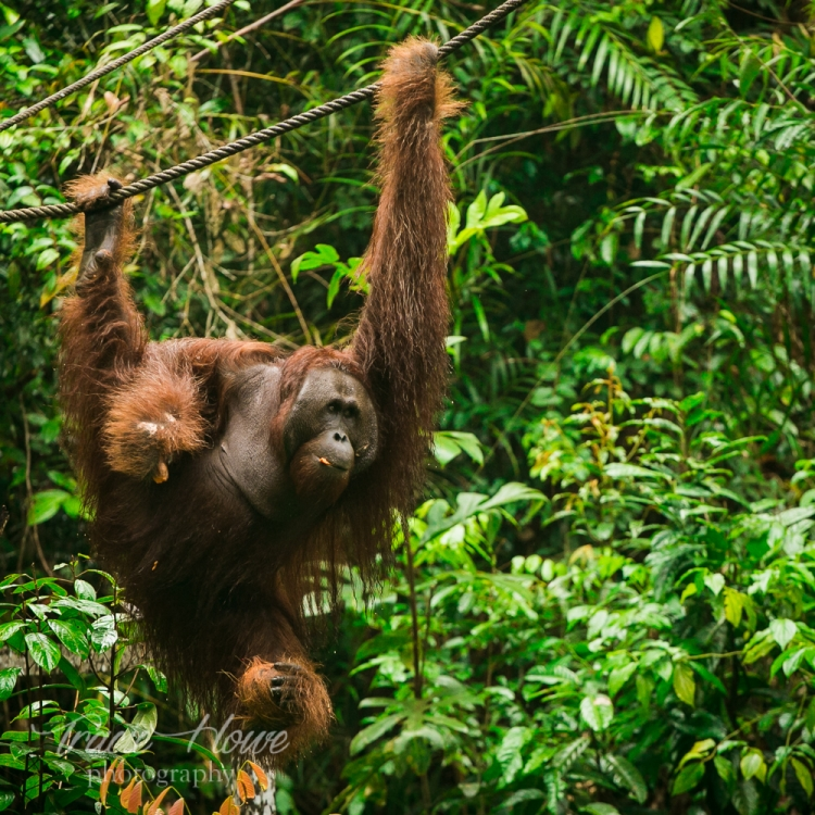 A semi-wild orangatan swings down from the jungle to get his afternoon snack.